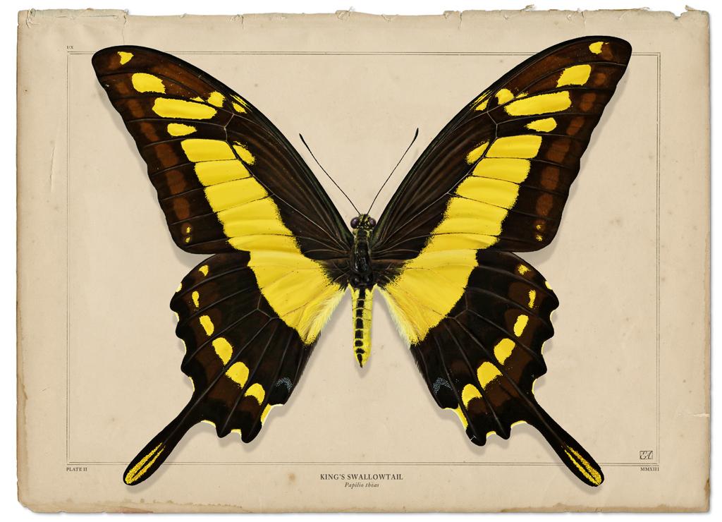 KingsSwallowtailEA