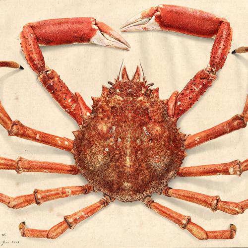 Maja squinado (Spider crab)