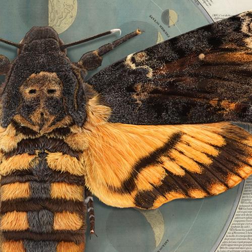 Papillion de nuit