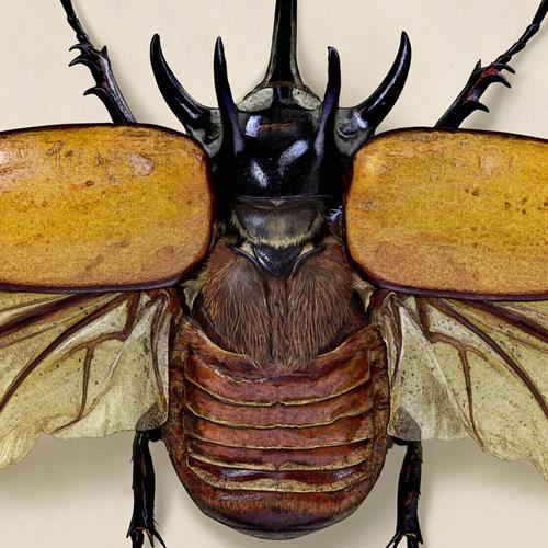 Five horned rhinoceros beetle
