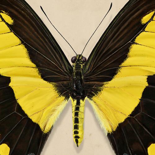 King's swallowtail